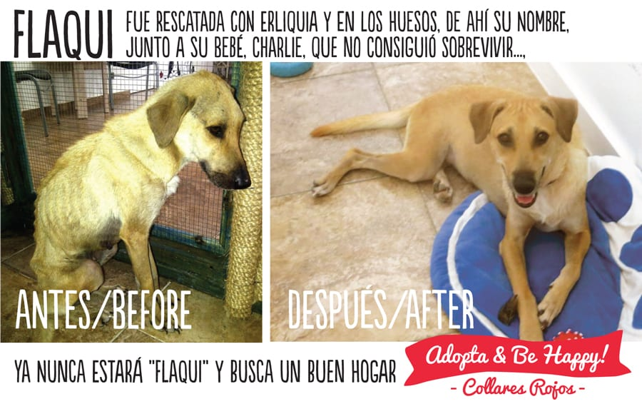 Flaqui-before-and-after-Campaign-Adopt-and-Be-Happy-Collares-Rojos-foundation-welfare-Animals