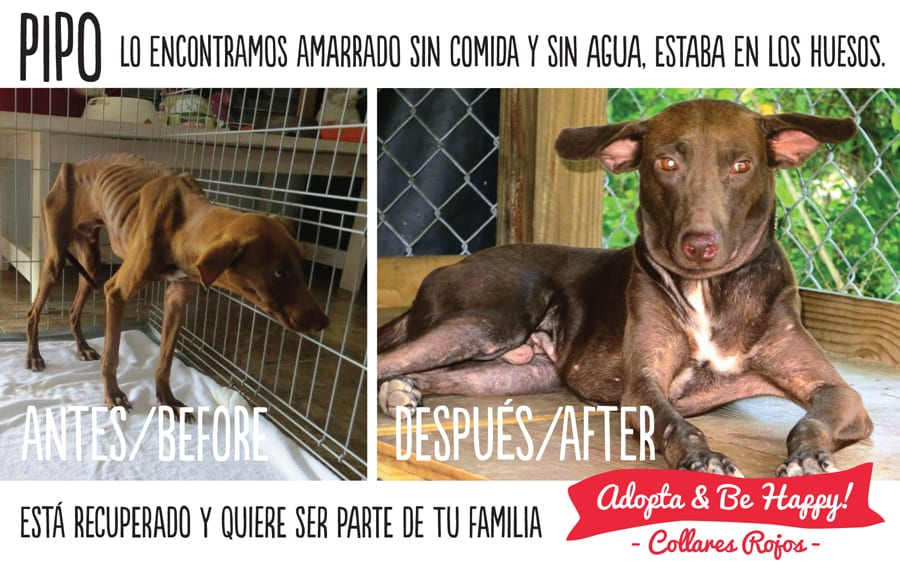 pipo-before-and-after-Campaign-Adopt-and-Be-Happy-Collares-Rojos-foundation-welfare-Animals
